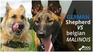 belgian malinois vs german shepherd pictures to pin on