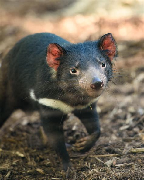 Though tasmanian devils can live anywhere on the island. Tasmanian devils adjust to life in captivity at the St. Louis Zoo | St. Louis Public Radio