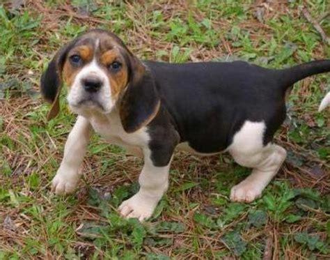 american coonhound animals   animals