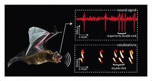 Different Approaches To Echolocation  Bats Use Sound Waves