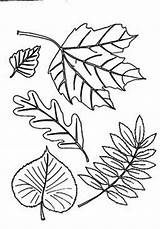 Coloring Leaf Autumn Different Fall Type Pages Clipart Aurumn Basswood Abstract Leaves Printable Colornimbus Tree Clipground sketch template