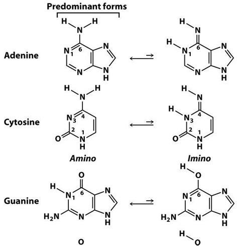 sandwalk tautomers of adenine cytosine guanine and thymine