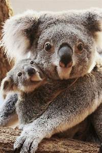 Cute Koalas... | aussie LOVE | Pinterest