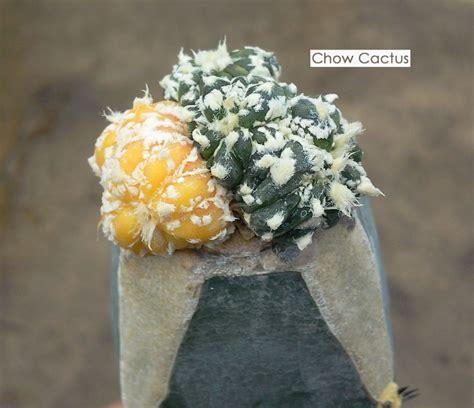 แคคตัสกราฟฟื้นชีวิต กราฟไม่ติดอย่าพึ่งถอดใจ | Chow Cactus