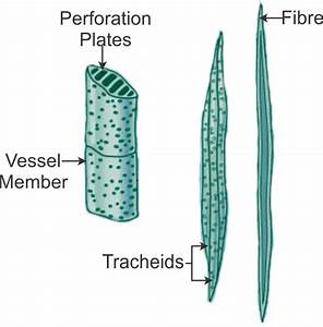 Xylem And Phloem Diagram Class 9