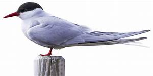 Arctic Tern | Arctic Tern Migration | DK Find Out