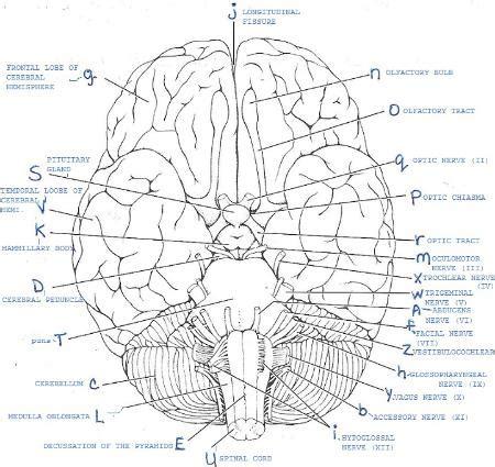 exercise  gross anatomy   brain  cranial nerves