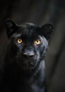 black panther cat black panther portrait by manu34 on deviantart