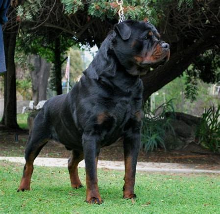17 best ideas about rottweiler puppies on