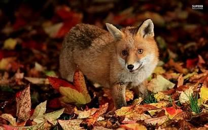 Fox Foxes Kawaii Wallpapersafari Dowload Fennec Cartoon