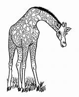 Giraffe Coloring Pages Adults Template Templates Colouring Christmas Pdf sketch template