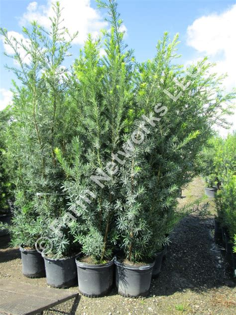 Permalink to 15 Gallon Podocarpus Price