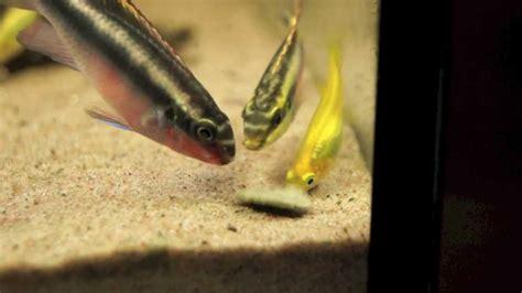tankmates kribensis cichlid feeding time youtube