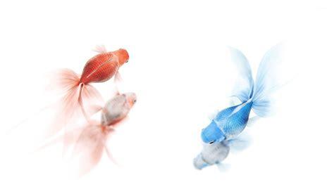 Animated Goldfish Wallpaper - goldfish wallpaper 183
