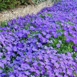 Vente De Plantes En Ligne Pas Cher : aubri te bleue vente vente en ligne de plants d 39 aubriete ~ Premium-room.com Idées de Décoration
