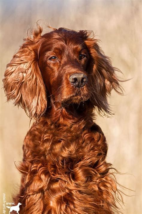 the 332 best images about irish setters on pinterest