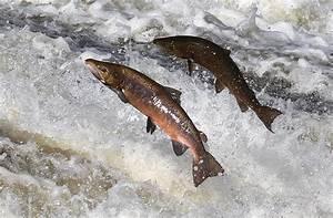 Jumping salmon at Murray's Cauld,... © Walter Baxter ...