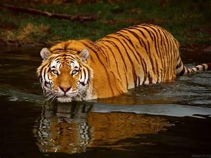 Tigres Wallpapers Fond Ecran Ecrans Utilise Remarque