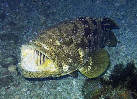 fish smartest freshwater jewfish pet sea