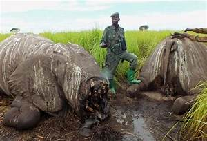 68 Elephants killed in Congo park using Machine Guns and ...