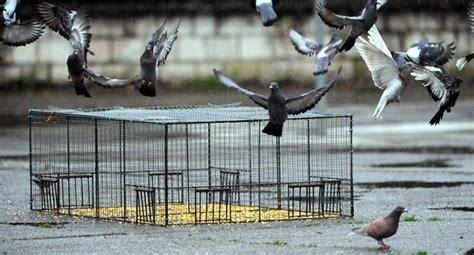 la lutte contre le pigeon haret n est pas pr 232 s de cesser 28 05 2016 ladepeche fr