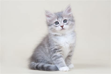 cat name siberian cat names 50 most popular male female