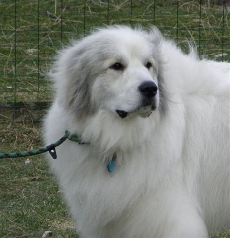 great pyrenees excessive shedding 100 great pyrenees non shedding should you or