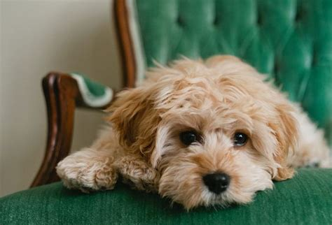 a cavapoo looks like cooper we don t what he is maybe this all we