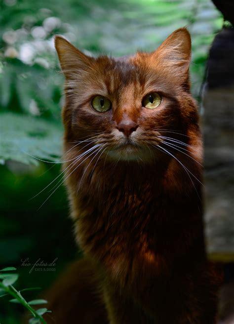Warrior Cats Dark Ginger Kitten