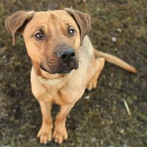 J.J. - German Shepherd Pit Bull Terrier mix