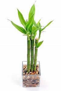 Bambous En Pot : comment prendre soin d 39 un bambou en pot 8 tapes ~ Melissatoandfro.com Idées de Décoration