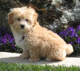 lhasa poo lhasa apso poodle mix info temperament puppies pictures
