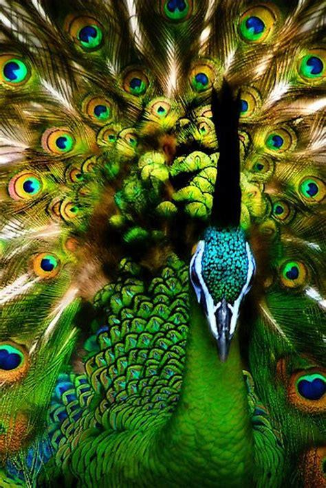 beautiful peacock beautiful peacocks pinterest