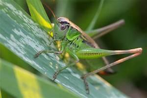 Grasshopper Free Stock Photo - Public Domain Pictures