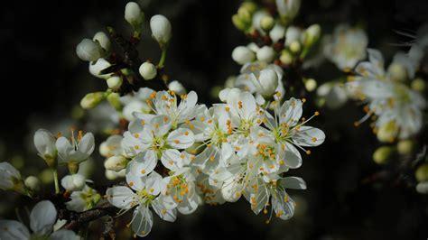 spring cherry blossom green leaves  white flowers