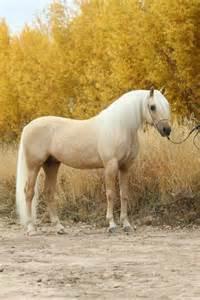White Palomino Horse