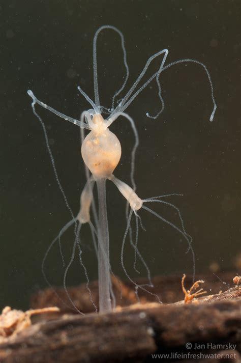 hydra life  freshwater