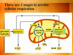 Wiring Diagram Database  Photosynthesis And Cellular