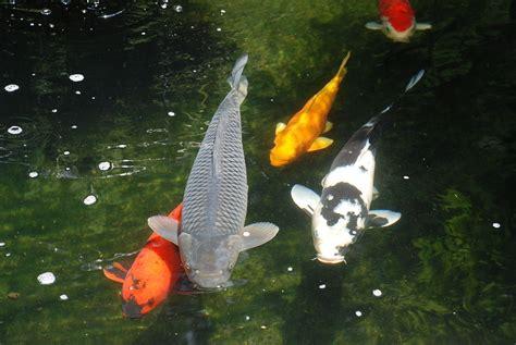 Koi Pond Wallpapers