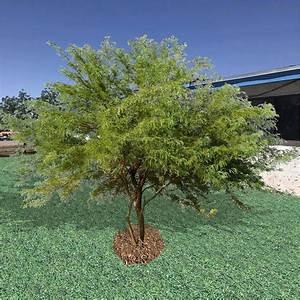 Chilean Mesquite Tree