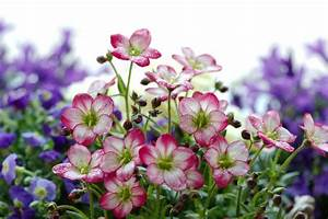 Fleur Rose Et Blanche : la saxifrage moussue de rose et blanche fleurit avec les fleurs pourpres defocused image stock ~ Dallasstarsshop.com Idées de Décoration