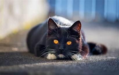 Cat Shorthair British Yellow Domestic Eyes Cats