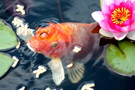 Garden Goldfish by Goldfish Feeding Fish Water 183 Free Photo On Pixabay