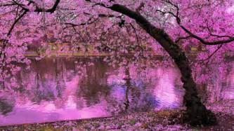 Pink Cherry Blossom Trees Japan