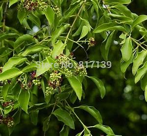 DIY 5 Seeds Home Garden Plant Santalum Album ,White ...