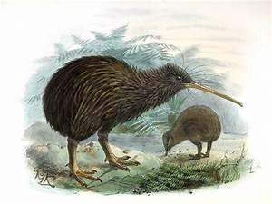 North Island Brown Kiwi - Apteryx mantelli - ref:jgke122816