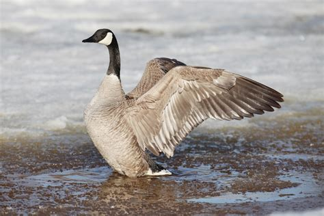 canada goose photos unlimited