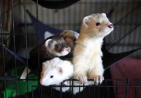 are ferrets pets california ferret owners mount new efforts to have their pets legalized in the state l a
