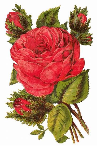 Rose Digital Clip Flower Artwork Seed Clipart