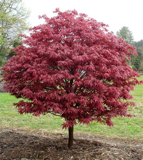 Japanese Maples In Spring  Triangle Gardener Magazine. Living Room Color Ideas Red. Black Accent Chairs Living Room. Living Room Grey Sofa. Japanese Living Room Interior Design. Living Room Chairs Teal. Living Room Paint Colors Cottage. The Living Room Play. Cheap Living Room Wallpaper Uk